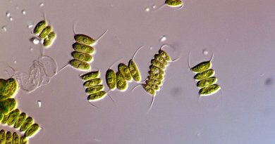 Desmodesmus microalgae
