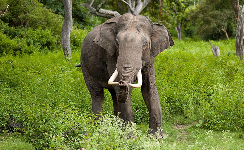 Asian Elephant. Photo by Yathin S Krishnappa, Wikipedia Commons.