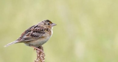 Grasshopper Sparrows may face challenges as climate change affects North America's grasslands. Credit A. Lesak