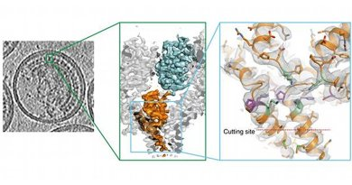 For HIV to mature, a crucial cutting point has to be severed. EMBL scientists determined the cutting site's 3-D structure in whole HIV particles, and found that it is hidden in a position where the virus' cutting machinery can't sever it. So for the virus to mature, the structure first has to change, to expose that cutting point. Credit IMAGE: Florian Schur/EMBL
