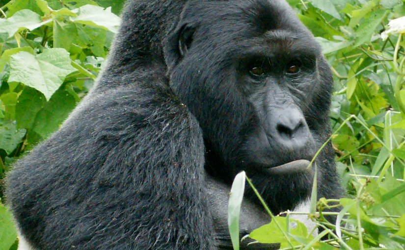 Eastern Gorilla. Photo by Fiver Löcker, Wikipedia Commons.