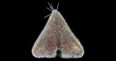 Enchinocrepis rostrata