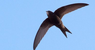A Common Swift flying in Barcelona, Spain. Photo by pau.artigas, Wikipedia Commons.