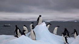Adelie penguins in Antarctica. Credit: Wikimedia Commons.