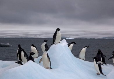 Adelie penguins in Antarctica. Credit: Wikimedia Commons.