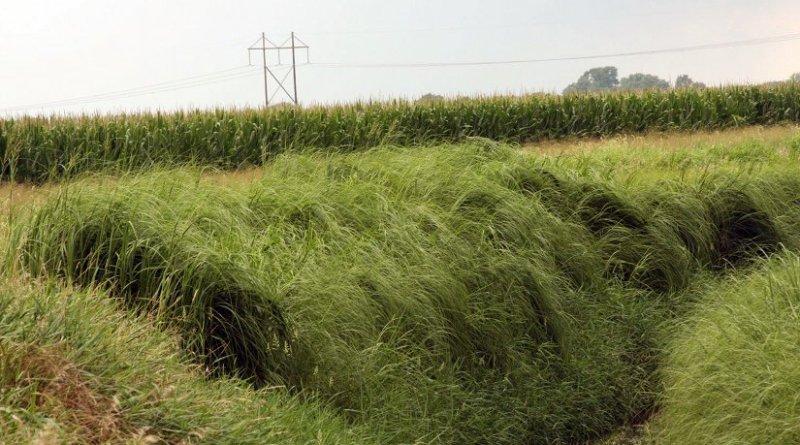 Patch of cordgrass