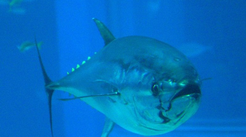 Pacific bluefin tuna. Photo by OpenCage, Wikipedia Commons.