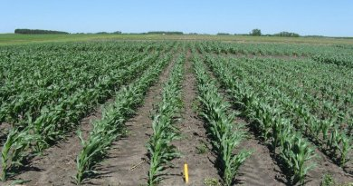 Kaiser's research team planted corn of different relative maturities at test plots in Minnesota at different spring dates to simulate early, on-time and late planting. Credit Photo provided by Daniel Kaiser.