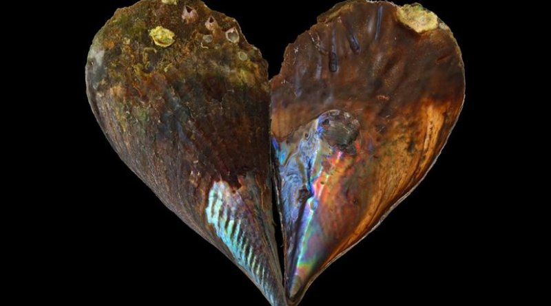 Nacre, also known as mother-of pearl, is the biomineral that lines some seashells. New research shows it keeps a record of ancient ocean temperatures. Credit UW-Madison