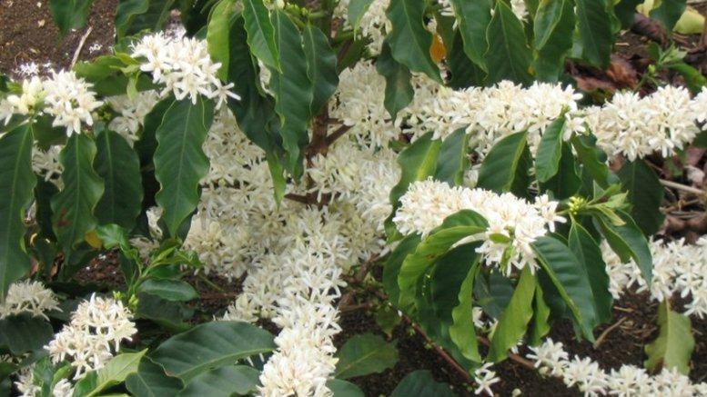 Flowering branches of Coffea arabica. Photo by Marcelo Corrêa, Wikipedia Commons.