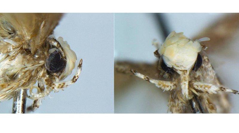 This is a close up of the head of the holotype of the new species Neopalpa donaldtrumpi Credit Dr. Vazrick Nazari