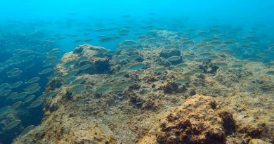 This is a shoal of the Red Sea marbled spinefoot on an overgrazed rocky reef off northern Israel. Credit Z. Fayer.
