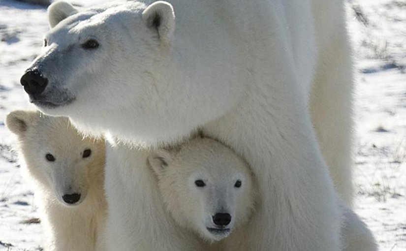 A Polar Bear mother and her two cubs are shown in Wapusk National Park, Canada. Credit Environmental Toxicology and Chemistry