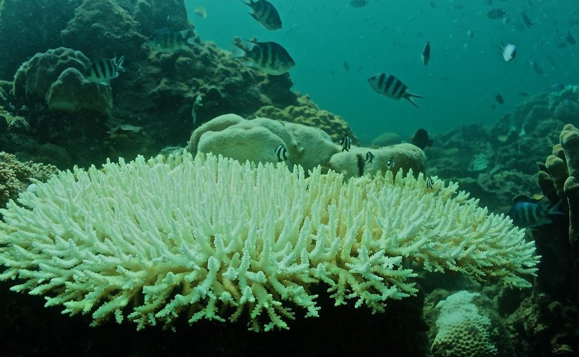 Bleached Acropora colony was photographed in July 2015. A new study finds that a 2°C rise in the sea surface temperature of the South China Sea in June 2015 was amplified to produce a 6°C rise on the Dongsha Atoll, killing approximately 40 percent of the resident coral community. Credit Photo by Thomas DeCarlo, Woods Hole Oceanographic Institution