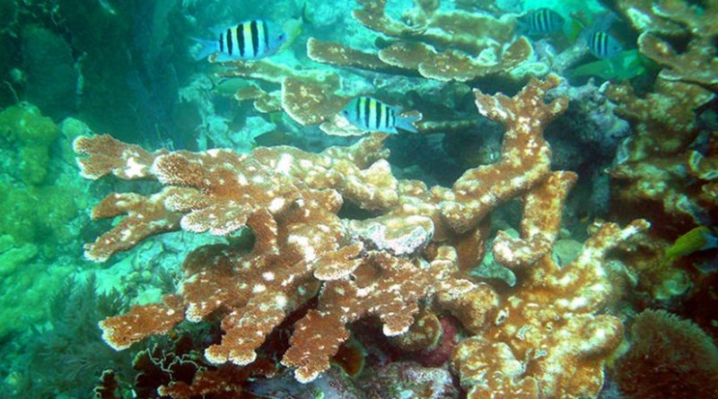 Elkhorn coral (Acropora palmata) on Molasses Reef. Photo by Jim Stuby, WIkipedia Commons.
