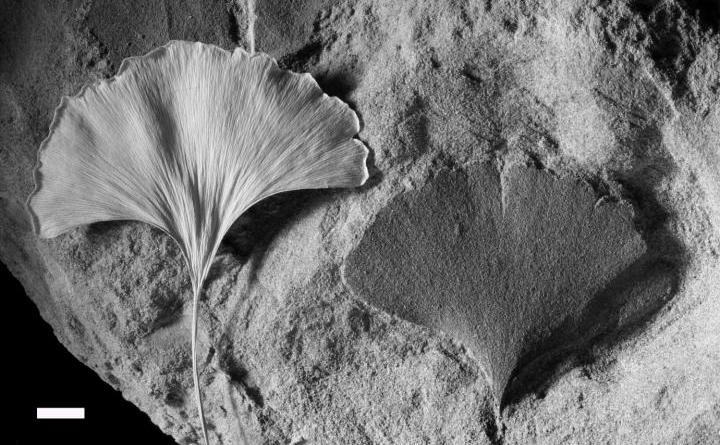 This is a living Ginkgo leaf (left) and fossil (right). Density of stomata in such leaves is proxy of atmospheric CO2 in past. Credit Dana Royer