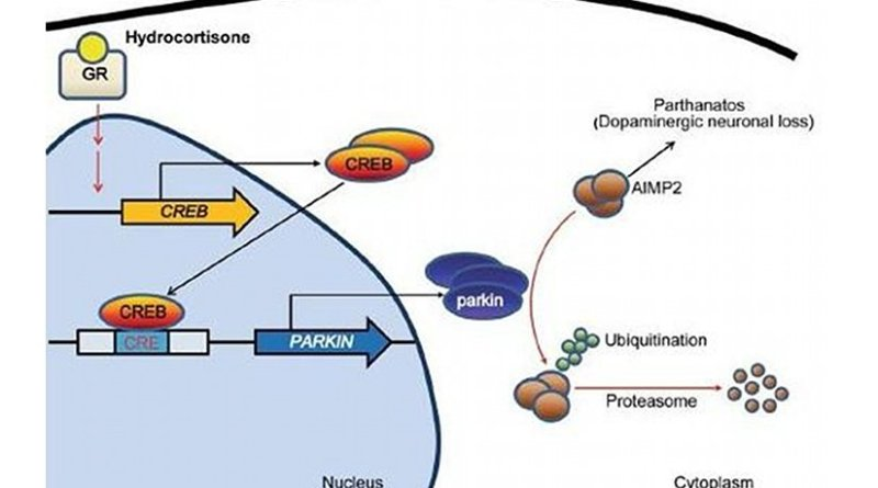 Hydrocortisone binds to glucocorticoid receptor which in turn leads to expression of CREB. CREB increases parkin expression via binding to CREB binding motifs of parkin promoter region. Hydrocortisone-stimulated parkin expression results in the downregulation of the toxic parkin substrate AIMP2, which is beneficial for dopaminergic neuronal survival. Credit DGIST