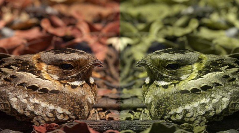 A nightjar as seen by a trichromat (left) and a dichromat (right). Credit University of Exeter