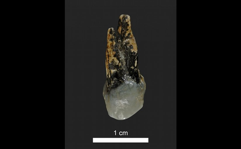 This is a 7.24 million year old upper premolar of Graecopithecus from Azmaka, Bulgaria. Credit Photo: Wolfgang Gerber, University of Tübingen