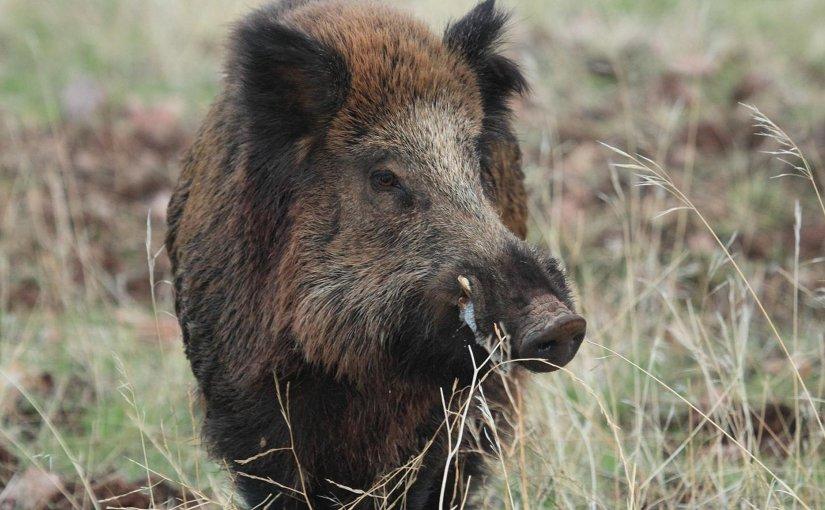 Male wild boar. Credit Christian Gortázar Schmidt