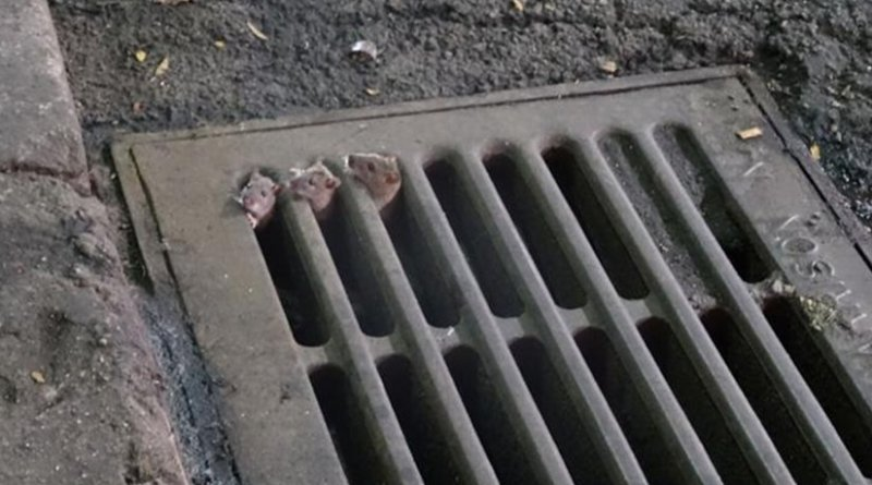 A mother rat (behind) and two pups (in front) emerge from a storm drain basin in NYC. The mother rat is taking her young to feast on nearby garbage bags filled and left sitting overnight prior to sanitation removal the next day. Credit Michael Cammer, NYU