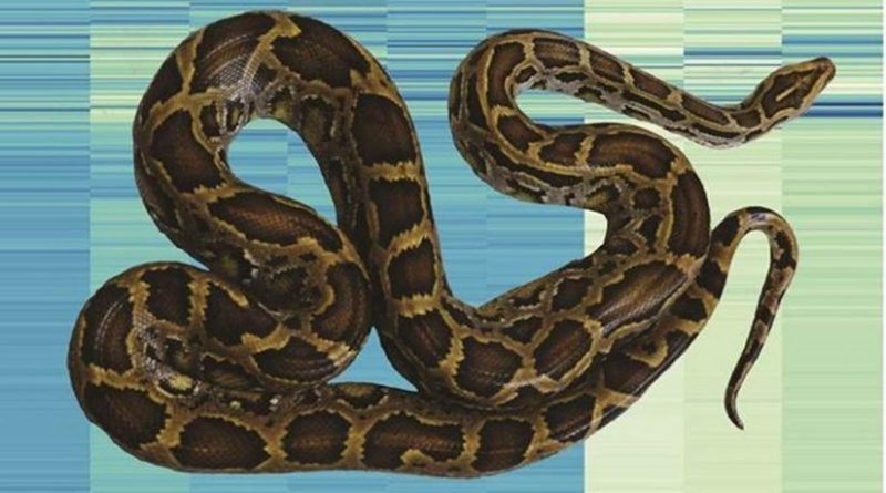 A Burmese python superimposed on an analysis of gene expression that uncovers how the species changes in its organs upon feeding. Credit Todd Castoe
