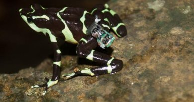 A female Limosa harlequin frog sports a miniature radio transmitter. The radio transmitters will allow the scientists to track 16 of the frogs to look at the differences in survival and persistence between those that experienced a soft release and those that did not. Credit Brian Gratwicke/Smithsonian Conservation Biology Institute
