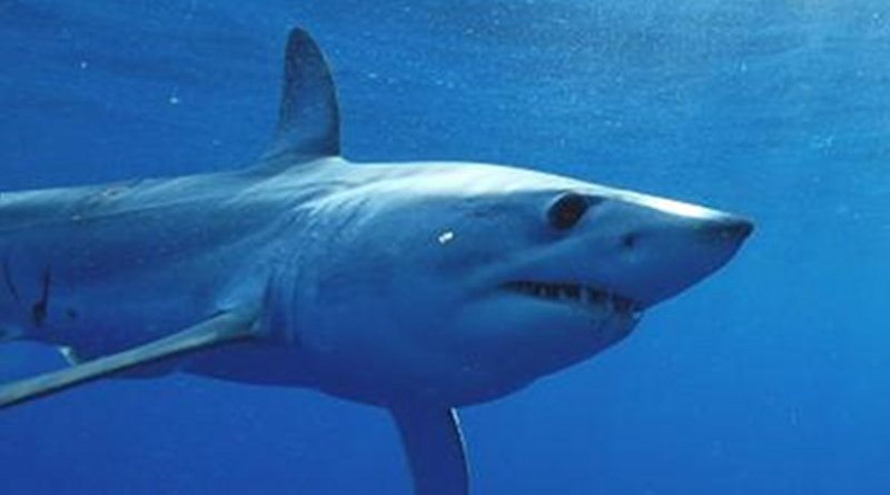 This is a mako shark close up. Credit George Schellenger, GHOF