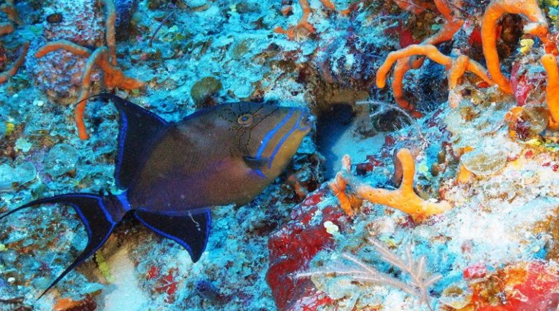 This is a Queen triggerfish and finger sponges on mesophotic reef wall in Cuba. Credit Cuba's Twilight Zone Reefs Expedition/CIOERT at FAU Harbor Branch