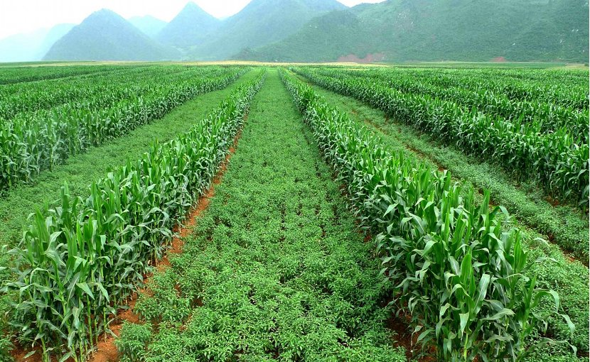Intercropping maize and chili to improve economic and environmental stability -- a recipe for success? Credit Photo provided by Bozhi Wu.