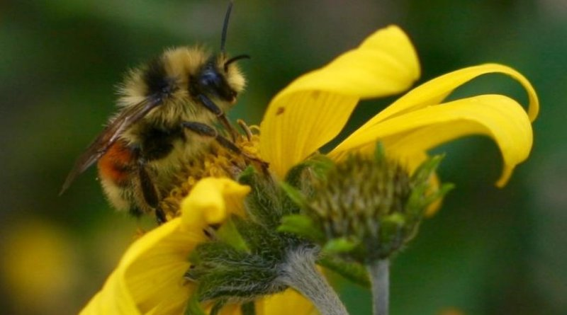 This is Bombus bifarius, one of the three species of bumble bee studied by the Ogilvie and her team. Credit Jane Ogilvie