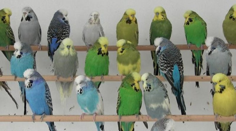 This photograph shows a collection of green, white, blue, and yellow budgies. Credit Thomas Cooke