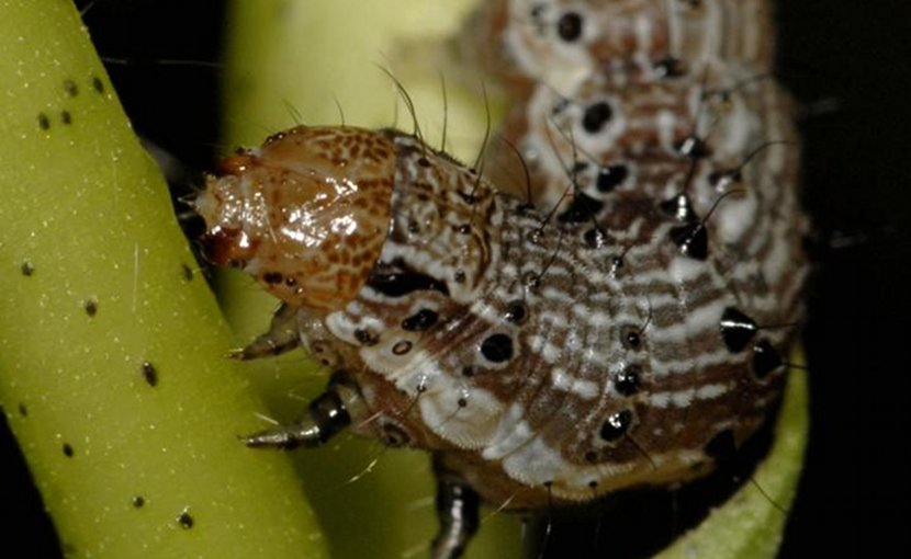 The caterpillar pest Helicoverpa zea (also known as cotton bollworm and corn earworm) has evolved resistance to four Bt proteins produced by biotech crops. Credit Alex Yelich/University of Arizona