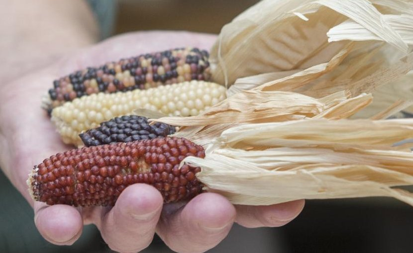 Corn that prehistoric people grew in the Southwest 1,000 years ago looked nothing like the sweet corn people eat today. Credit Joseph Fuqua II/UC Creative Services