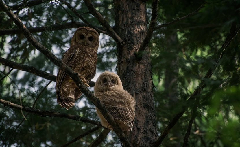 While California spotted owls (left, adult; right, juvenile) typically perch and roost in smaller trees like this incense cedar, their nest trees are often several feet in diameter. Credit Danny Hofstadter