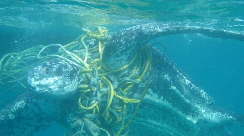 This is a live leatherback turtle entangled in fishing ropes which increases drag, Grenada 2014. Credit Kate Charles, Ocean Spirits