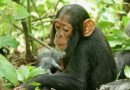 Chimpanzee Deaths In Uganda Pinned On Human Cold Virus
