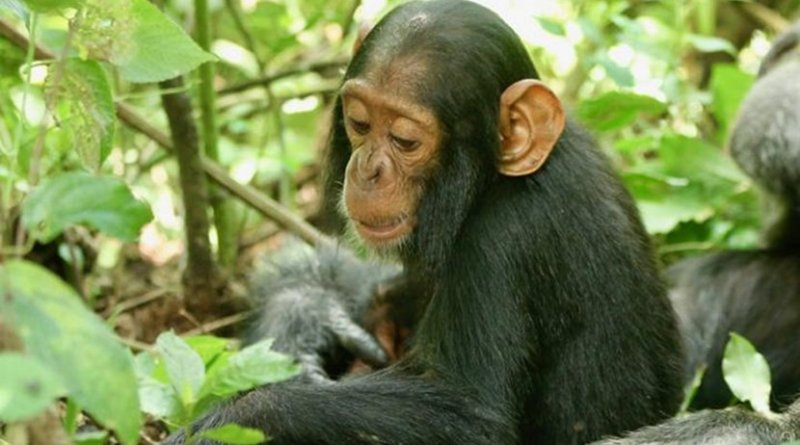 A two-year-old chimp named Betty, who succumbed to the virus. Credit Richard Wrangham
