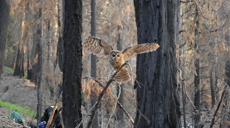 California spotted owl family found nesting and reproducing in the Lake fire of 2015 in the San Bernardino mountains, California, where no post-fire logging occurred. Credit Rachel Fazio