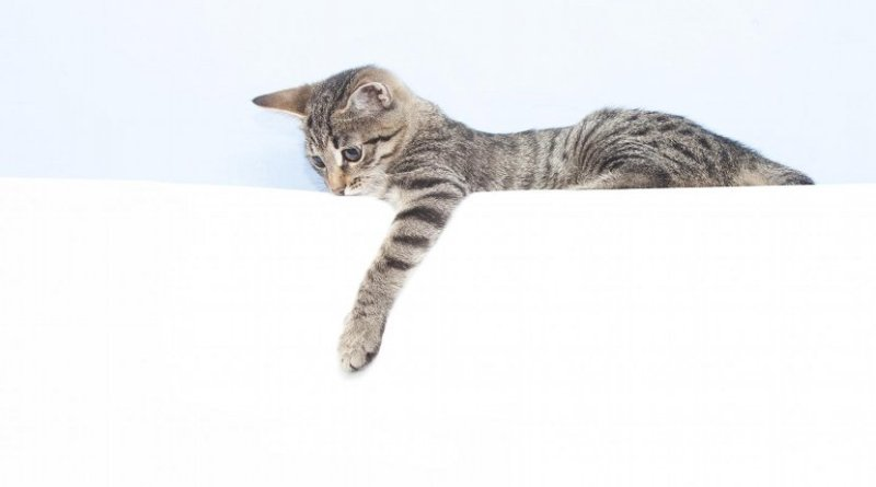 Researchers at Queen's University Belfast have found that female cats are much more likely to use their right paw than males. Credit Queen's University Belfast
