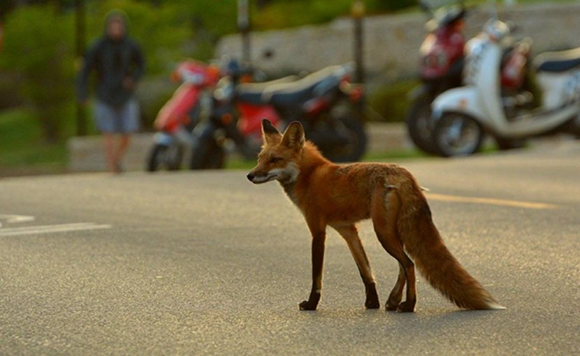 A fox wanders through a city street in Madison, Wisconsin. Credit Photo courtesy of the UW Urban Canid Project