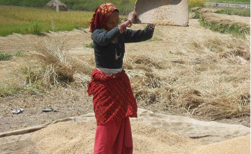 A woman winnowing rice, an important food crop in Uttarakhand, India.© Yann Forget / Wikimedia Commons