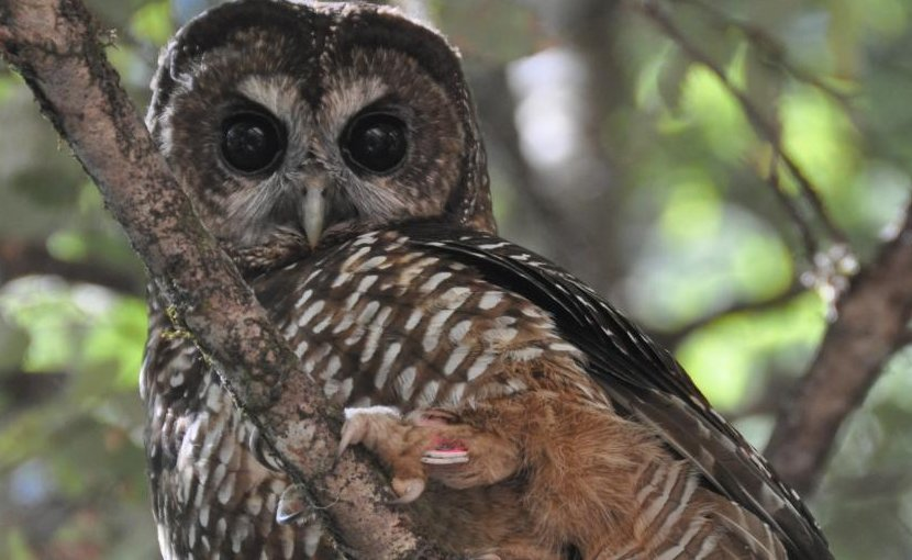 This is a Northern spotted owl. Credit J. Mark Higley/Hoopa Tribal Forestry