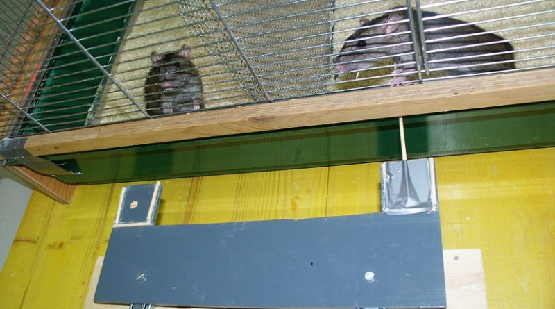 A rat pulls food on a platform toward another rat in the cage behind. It helps especially when it has been helped before. © Institute of Ecology and Evolution, University of Bern