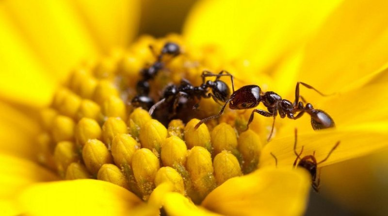 This image shows foragers of the desert fire ant, Solenopsis xyloni, collecting flower nectar. A recent article by Penick, et al., found that ants in this genus produce some of the strongest antimicrobials measured in social insects. But contrary to popular theory, not all ants seem to invest in potent antimicrobials. Credit Clint Penick