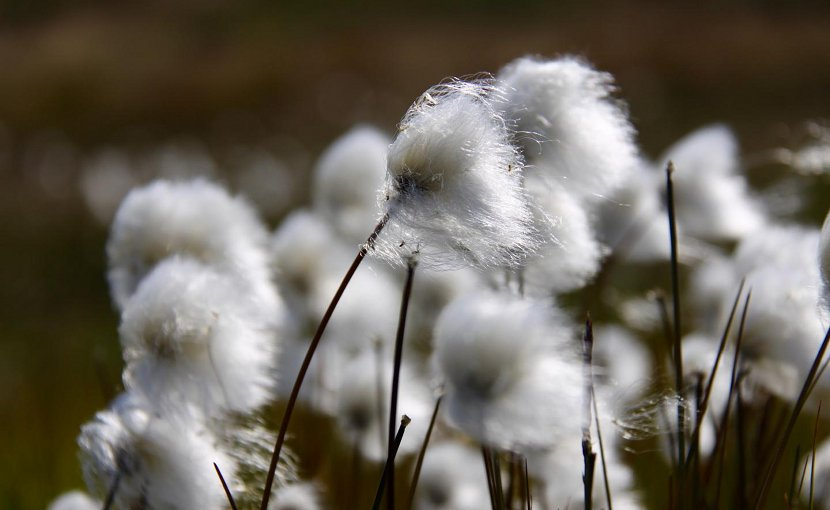 Cottongrass blow in the Greenland wind. Spring is advancing earlier in the polar regions and other high latitudes than it does at lower latitudes, according to a UC Davis study. Credit Eric Post/UC Davis
