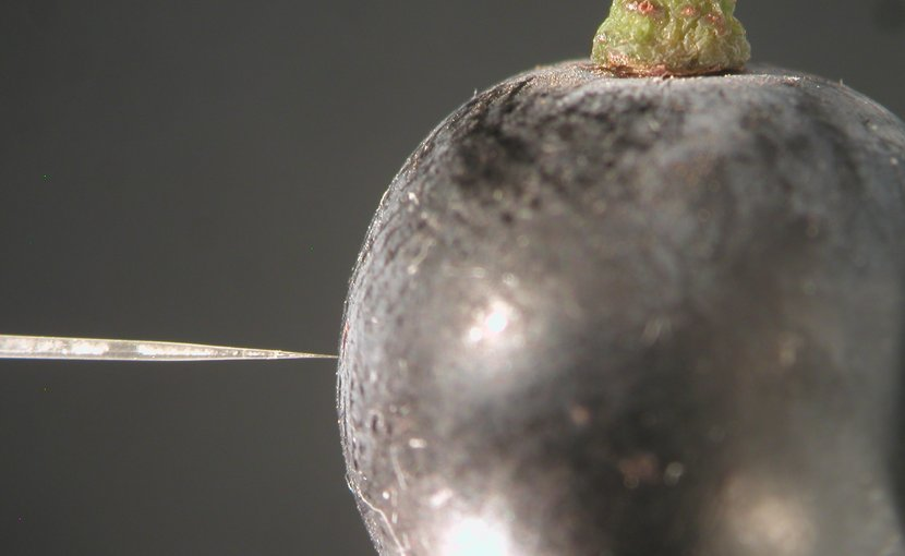 Miniature oxygen probe measuring oxygen in a Shiraz grape. Credit: University of Adelaide