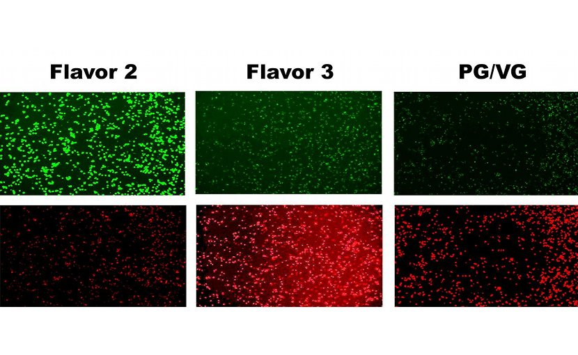 Human cells exposed to two kinds of e-cig flavored vapor and PG-VG non-flavored vapor at high doses. Green indicates live cells; red indicates dead cells. Credit Tarran Lab, UNC School of Medicine