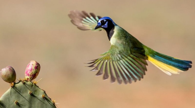 Tropical birds like the green jay attract ecotourists to the Rio Grande Valley. Credit Andrew Morffew