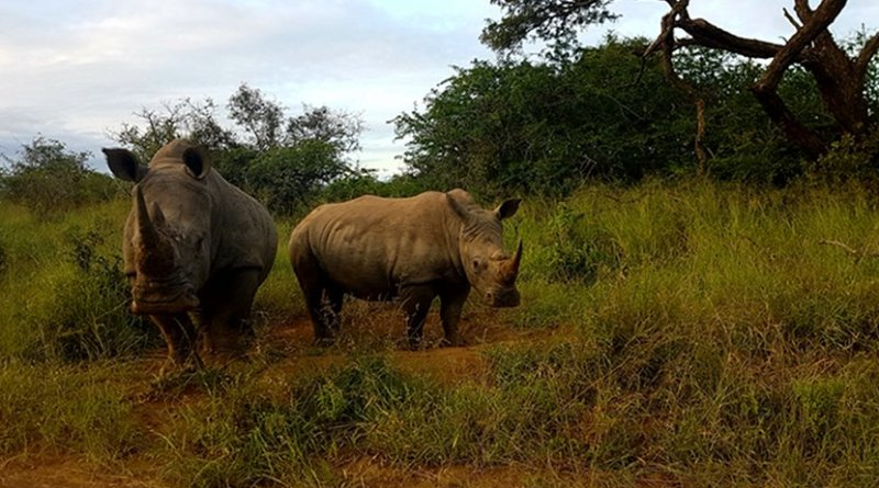Southern white rhinoceros (Ceratotherium simum simum) in an undisclosed protected area in South Africa.